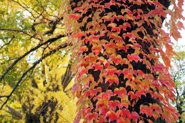 エノキに絡むツタの紅葉