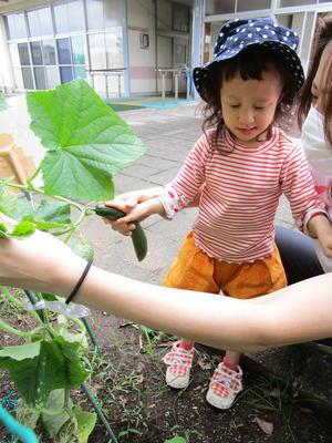 幼稚部の畑にいき、きゅうりを収穫している
