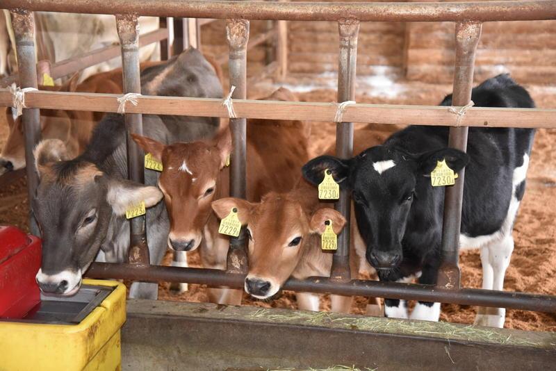 ミルク牧場の子牛たちも歓迎