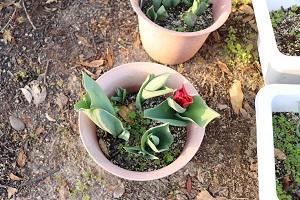 すでに咲きそうなチューリップ